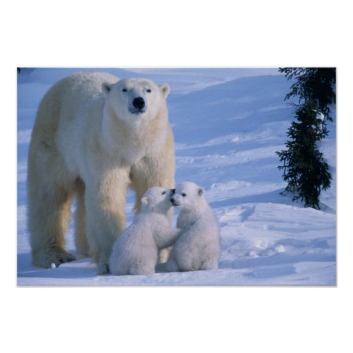 Female Polar Bear Standing with 2 Cubs at