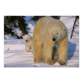Female Polar Bear Standing with one cub or coy Poster
