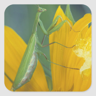 Female praying mantis with egg sac on square sticker