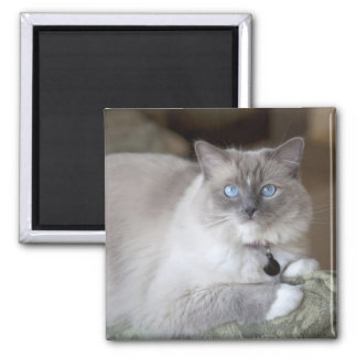 Female Ragdoll Cat Magnet