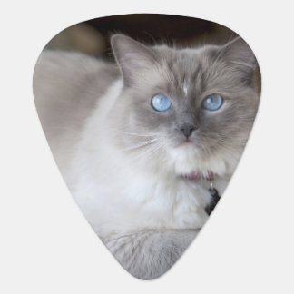 Female Ragdoll Cat Plectrum