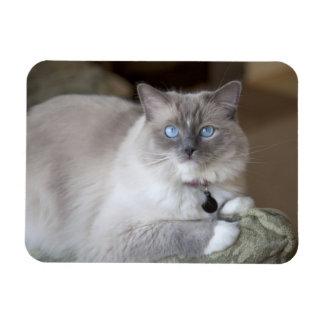 Female Ragdoll Cat Rectangular Photo Magnet