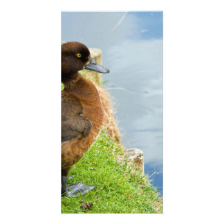 Female reddish Brown Tufted Diving Duck in grass Custom Photo Card