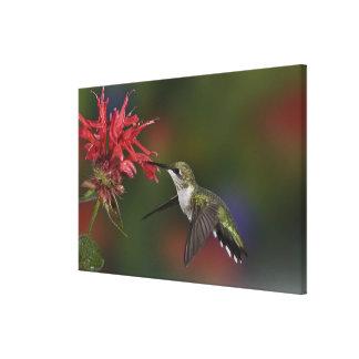 Female Ruby-throated Hummingbird feeding on Canvas Print