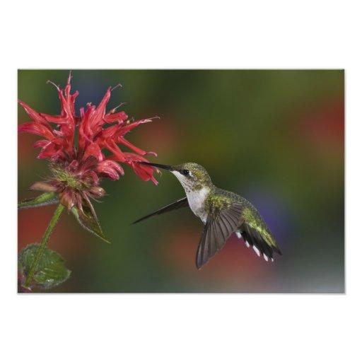 Female Ruby-throated Hummingbird feeding on Photo Art