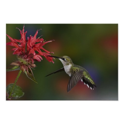 Female Ruby-throated Hummingbird feeding on Poster
