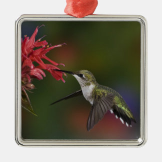 Female Ruby-throated Hummingbird feeding on Silver-Colored Square Decoration