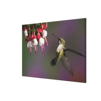 Female Ruby throated Hummingbird in flight. Canvas Print