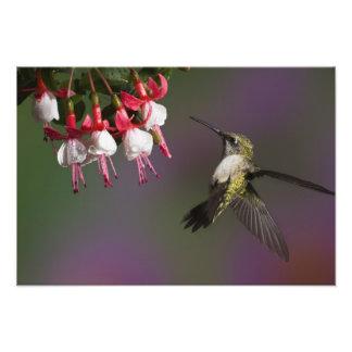 Female Ruby throated Hummingbird in flight Photo