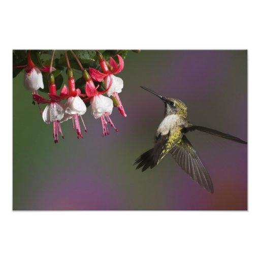 Female Ruby throated Hummingbird in flight. Photo
