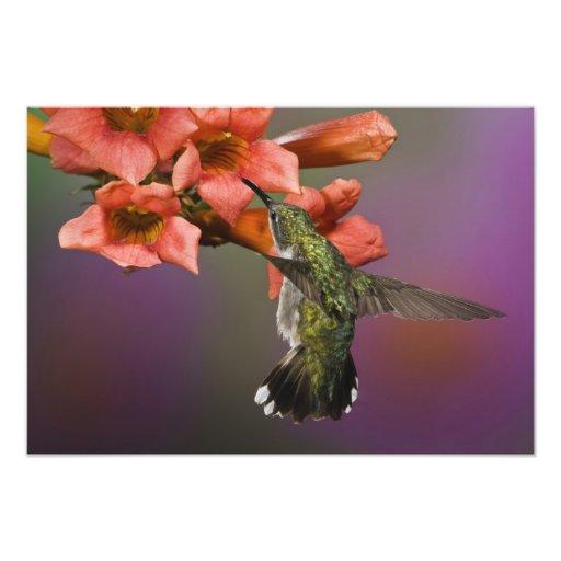 Female Ruby Throated Hummingbird in flight, Photographic Print