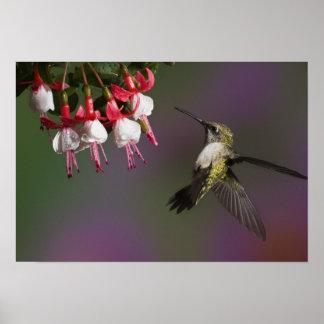 Female Ruby throated Hummingbird in flight Print