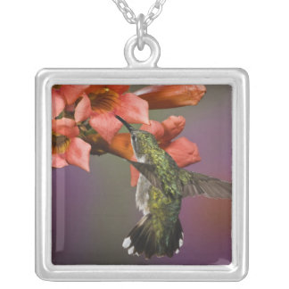 Female Ruby Throated Hummingbird in flight, Silver Plated Necklace