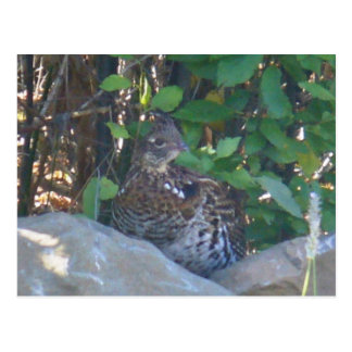 Female Ruffed Grouse Postcard
