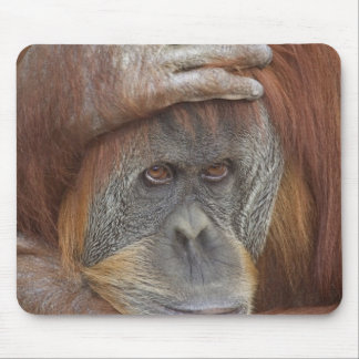 Female Sumatran Orangutan, Pongo pygmaeus Mouse Pad