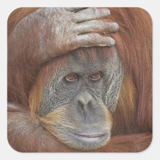 Female Sumatran Orangutan, Pongo pygmaeus Square Sticker