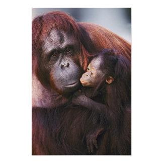 Female Sumatran Orangutan with baby, Pongo Photo Print