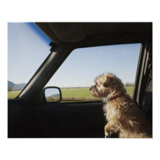 Female Terrier X sitting if front seat of Poster