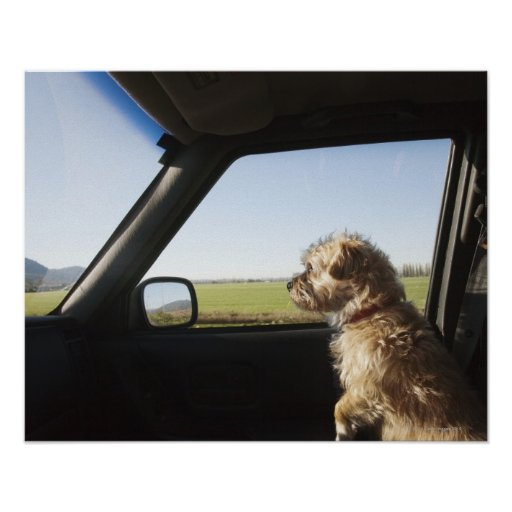 Female Terrier X sitting if front seat of Print