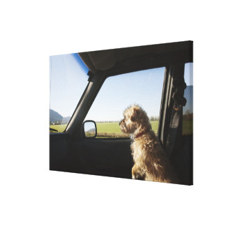 Female Terrier X sitting if front seat of Stretched Canvas Print