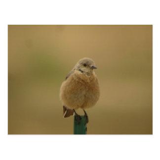 female Western Bluebird Postcard