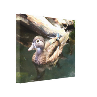 Female Wood Duck Gallery Wrapped Canvas