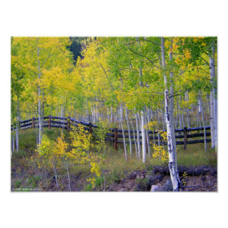 Fence with Aspens Poster