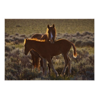Feral Horse Equus caballus) adult and colt in Poster