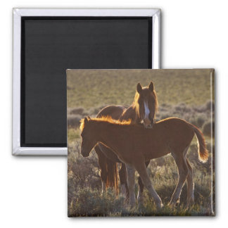 Feral Horse Equus caballus) adult and colt in Square Magnet