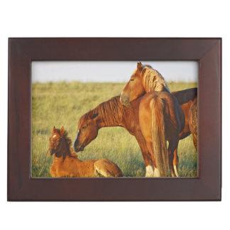 Feral Horse Equus caballus) adult smelling Keepsake Box