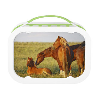 Feral Horse Equus caballus) adult smelling Lunch Box