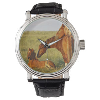 Feral Horse Equus caballus) adult smelling Watch