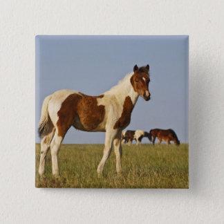Feral Horse Equus caballus) colt with herd in 15 Cm Square Badge