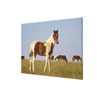 Feral Horse Equus caballus) colt with herd in Canvas Print