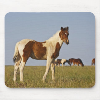 Feral Horse Equus caballus) colt with herd in Mouse Mat
