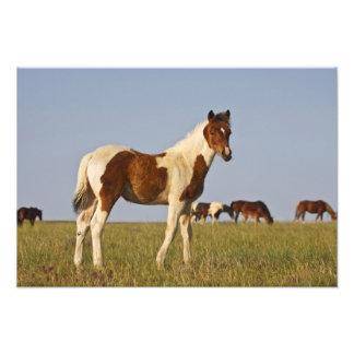 Feral Horse Equus caballus) colt with herd in Photo Print