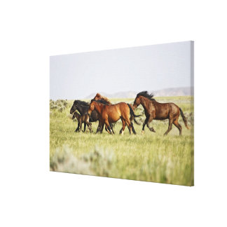Feral Horse Equus caballus) herd of wild Gallery Wrapped Canvas