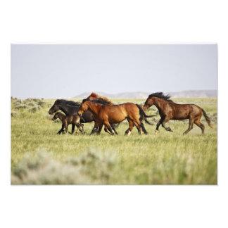 Feral Horse Equus caballus) herd of wild Photo Print