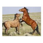 Feral Horse Equus caballus) wild horses 2 Postcard