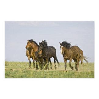 Feral Horse Equus caballus) wild horses 3 Photo Print