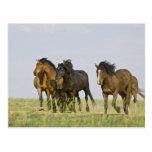 Feral Horse Equus caballus) wild horses 3 Post Cards