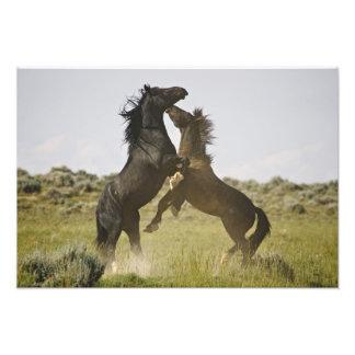 Feral Horse Equus caballus) wild horses Photo Print
