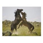 Feral Horse Equus caballus) wild horses Post Card