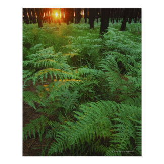 Fern leaves covering the ground, Tsitsikamma, Print