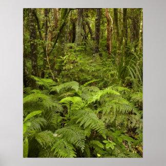 Ferns and native bush near Matai Falls, Catlins Poster
