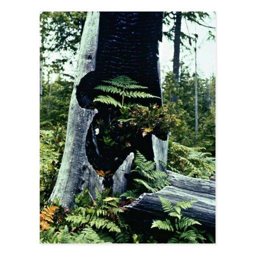 Ferns and Tree Stump Postcards