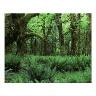 Ferns Covering a Rain Forest Floor in Olympic Poster
