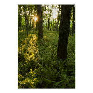 Ferns in the forest in Grafton, Massachusetts. Poster