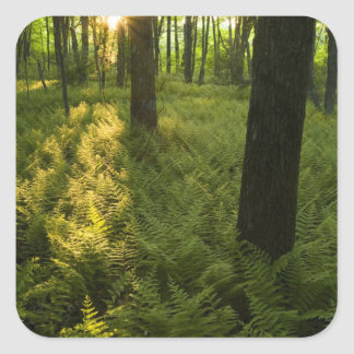 Ferns in the forest in Grafton, Massachusetts. Square Sticker