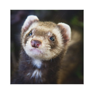 Ferret Gallery Wrapped Canvas
